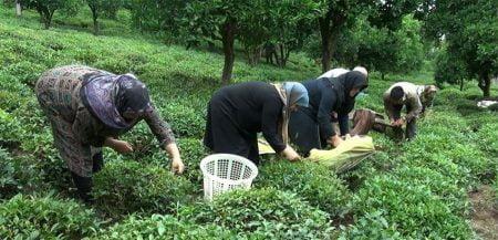 برداشت چای در کلارآباد